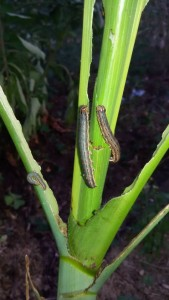 Armyworm attack in maize