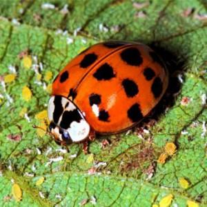 Lady_Beetle (http://fyn.ifas.ufl.edu/)
