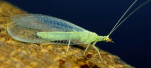 green-lacewing-adult(http://fyn.ifas.ufl.edu/)