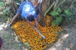 Destrcution of dropped citrus fruits in pits